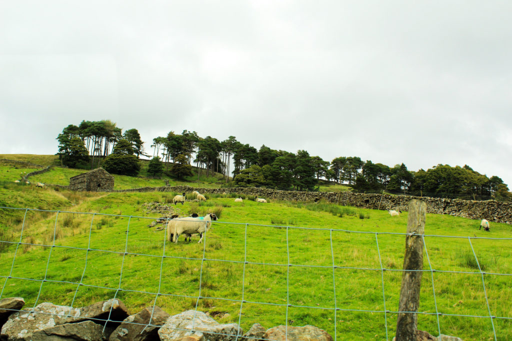 Sheep roaming around | Yorkshire Dales Tour